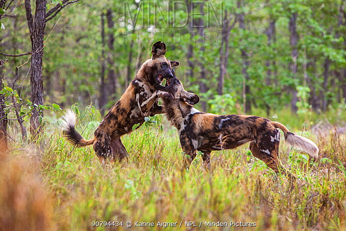 Two African wild dogs (Lycaon pictus) playing and greet each other during social time after a hunt. Zimbabwe.