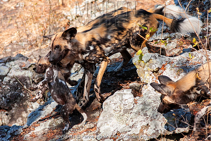 African wild dog (lycaon pictus) carries a pup from it's pack.  Malilangwe Wildlife Reserve, Zimbabwe.