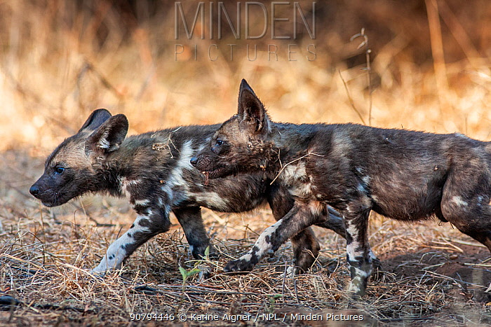 African wild dog (lycaon pictus) pups play before dark, walking in formation like the adults do. Malilangwe Wildlife Reserve, Zimbabwe.