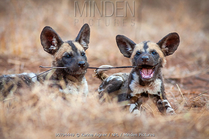 African wild dog (lycaon pictus) pups playing with a stick. Malilangwe Wildlife Reserve, Zimbabwe.