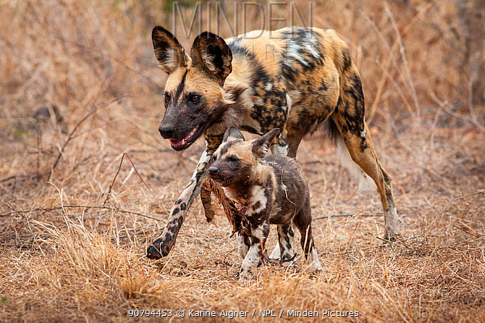 African wild dog (lycaon pictus) walking alongside a pup carrying regurgitated food. Malilangwe Wildlife Reserve, Zimbabwe.