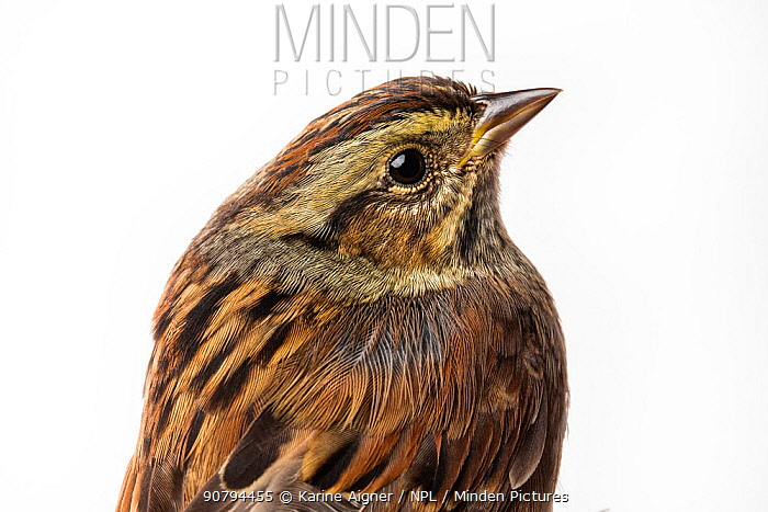 Portrait of a Swamp sparrow (Melospiza georgiana) with white background,  Block island, Rhode Island, USA. Bird caught during scientific research.