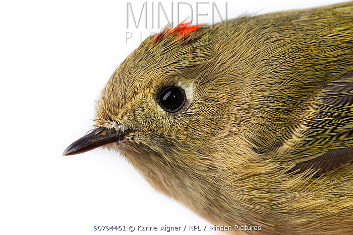 Portrait of a Ruby-crowned kinglet (Regulus calendula) with white background,  Block island, Rhode Island, USA. Bird caught during scientific research.
