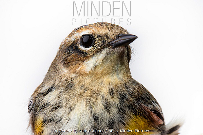 Portrait of a Myrtle warbler, (Dendroica coronata coronata) with white background,  Block island, Rhode Island, USA. Bird caught during scientific research.