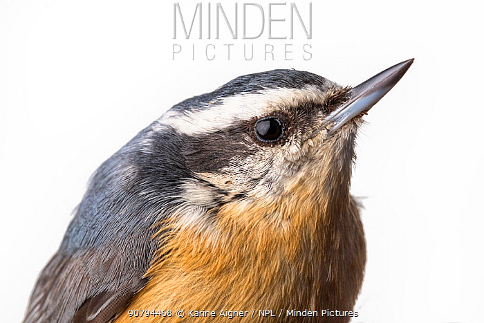 Portrait of a Red-breasted nuthatch, (Sitta canadensis) with white background,  Block island, Rhode Island, USA. Bird caught during scientific research.