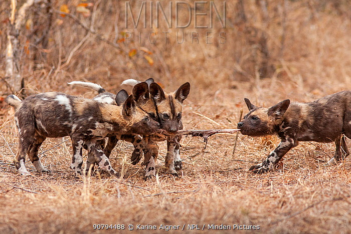 African wild dog (lycaon pictus) four pups playing with a piece of regurgitated meat. Malilangwe Wildlife Reserve, Zimbabwe.