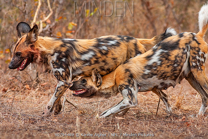 African wild dog (lycaon pictus) lactating alpha female, begging one of the pack members that has returned from the hunt, to regurgitate for her.   Malilangwe Wildlife Reserve, Zimbabwe.