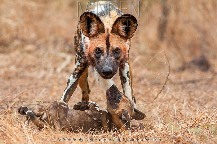 African wild dog (lycaon pictus) plays with one of the pack's pups.  Malilangwe Wildlife Reserve, Zimbabwe.