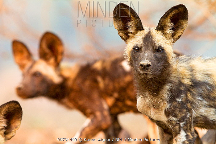 Portrait of an African wild dog pup, (Lycaon Pictus), looking at the camera. Mana Pools, Zimbabwe.