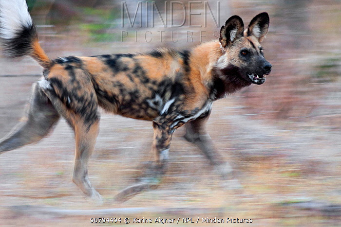 African wild dog (Lycaon pictus) running in blurred motion while hunting at dusk. Linyanti Wildlife Reserve, Botswana.