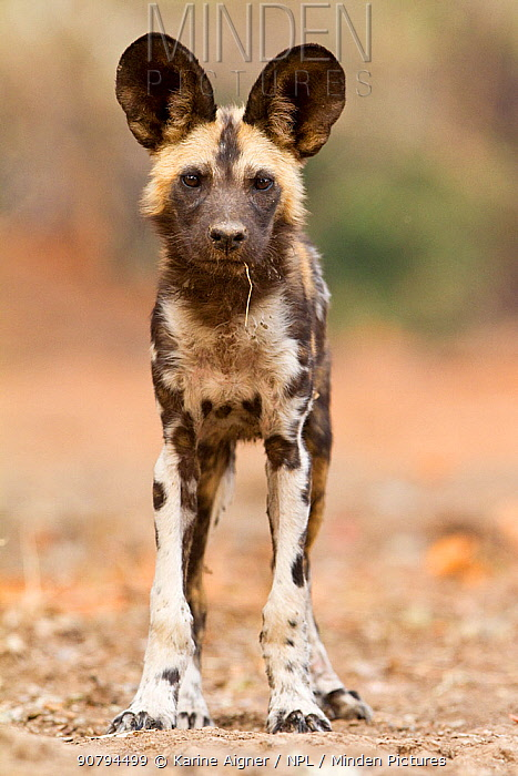 African wild dog (lycaon pictus) pup standing with a stick in it's mouth facing the camera.  Mana Pools, Zimbabwe