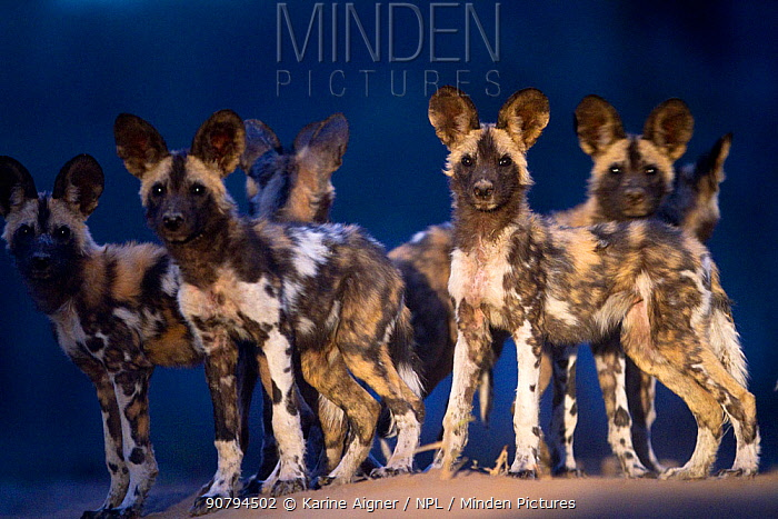 African wild dog (Lycaon Pictus) pups at dusk and looking around for the adults. Mana Pools, Zimbabwe.