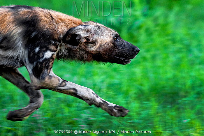 Portrait of an African wild dog (Lycaon Pictus) running on green grass, Zimbabwe.