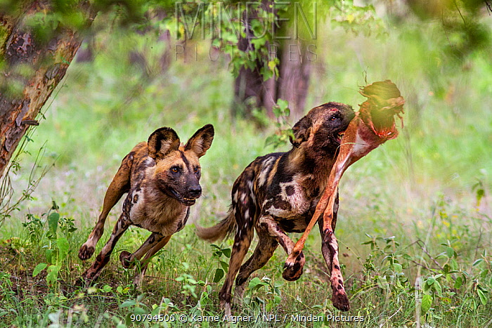 African wild dog (Lycaon Pictus) chasing a pack member to steal it's prey.  Zimbabwe.