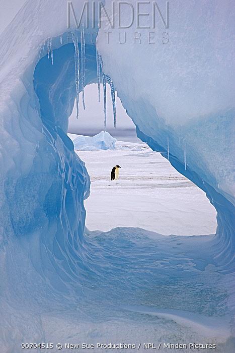 Emperor penguin (Aptenodytes forsteri) viewed through hole in iceberg at Snow Hill Island rookery, Antarctica. November.