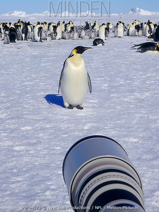Canon camera  long lens of wildlife photographer Sue Flood (out of shot) photographing Emperor penguins (Aptenodytes forsteri) at Snow Hill Island rookery, Weddell Sea, Antarctica. October 2008.