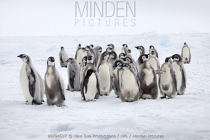 Emperor penguin chicks (Aptenodytes forsteri) with lone Adelie penguin (Pygoscelis adeliae) Ross Sea, Antarctica. December.