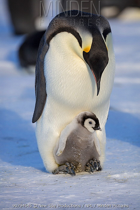 Emperor penguin (Aptenodytes forsteri) adult with young chick, Gould Bay, Weddell Sea, Antarctica