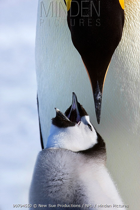 Emperor penguin (Aptenodytes forsteri) feeding young chick, Snow Hill Island rookery, Antarctica. October. Sequence 1 of 3