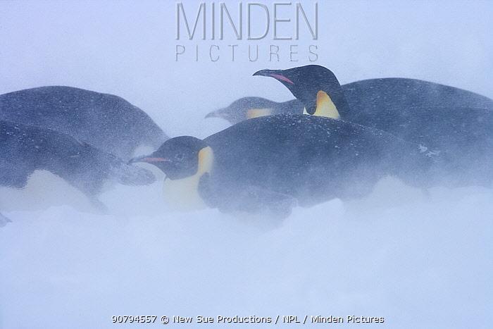 Emperor penguins (Aptenodytes forsteri) blizzard near Snow Hill Island colony in Weddell Sea, Antarctica.