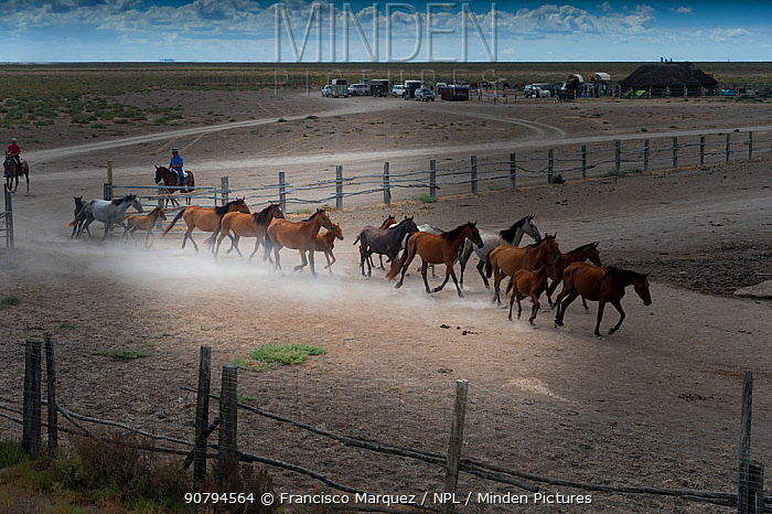 Mares and foals rounded up into corral. During the annual round up of mares and foals. Donana National Park, Spain.. September 2014.