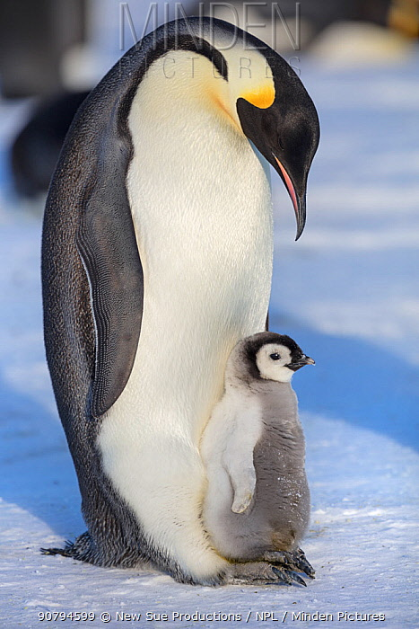 Emperor penguin (Aptenodytes forsteri) adult with chick, Gould Bay, Weddell Sea, Antarctica.