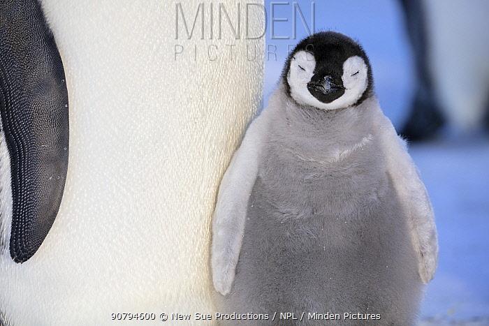Emperor penguin (Aptenodytes forsteri) young chick, Gould Bay, Weddell Sea, Antarctica.