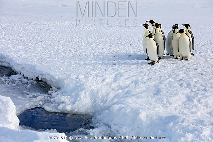 Emperor penguin (Aptenodytes forsteri) huddled up, waiting to go into sea, Gould Bay, Weddell Sea, Antarctica