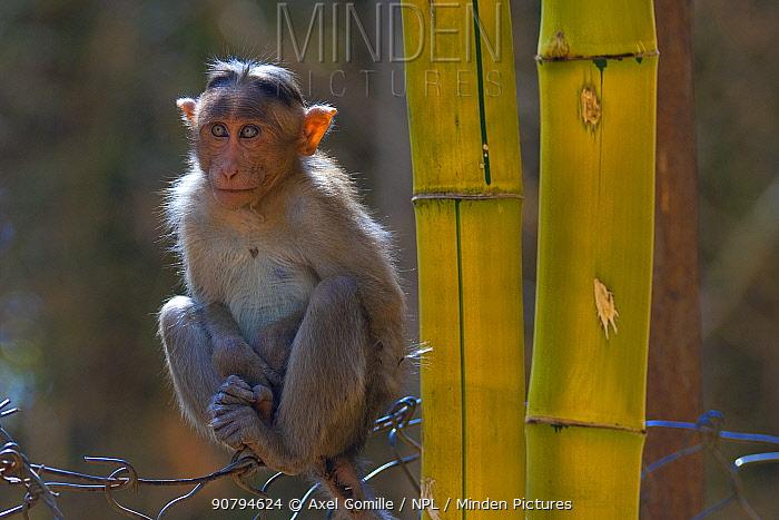 Bonnet macaque (Macaca radiata), young animal on fence, Karnataka, India