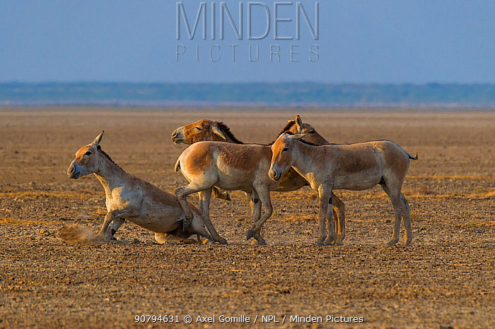 Asiatic wild ass (Equus hemionus khur), group of young males, Little Rann of Kutch, Gujarat, India