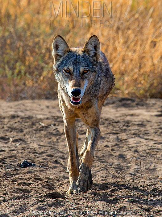 Indian wolf(Canis lupus pallipes) walking, Gujarat, India
