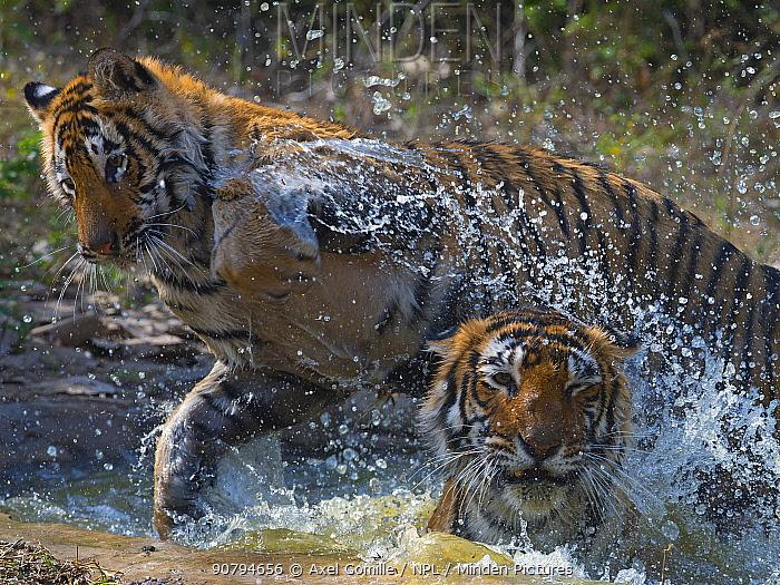 Tiger (Panthera tigris) mother and large cub playing in water, Ranthambhore National Park, Rajasthan, India