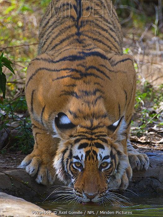 Tiger (Panthera tigris), drinking from artificial waterhole, Ranthambhore National Park, Rajasthan, India.
