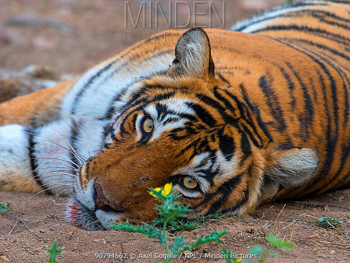 Tiger (Panthera tigris), portrait, with flower and flies, Ranthambhore National Park, Rajasthan, India