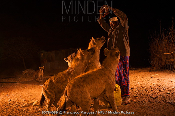 Man feeding wild Spotted hyenas (Crocuta crocuta) at night in City of Harar. This is a centuries old tradition. Ethiopia. February 2008.