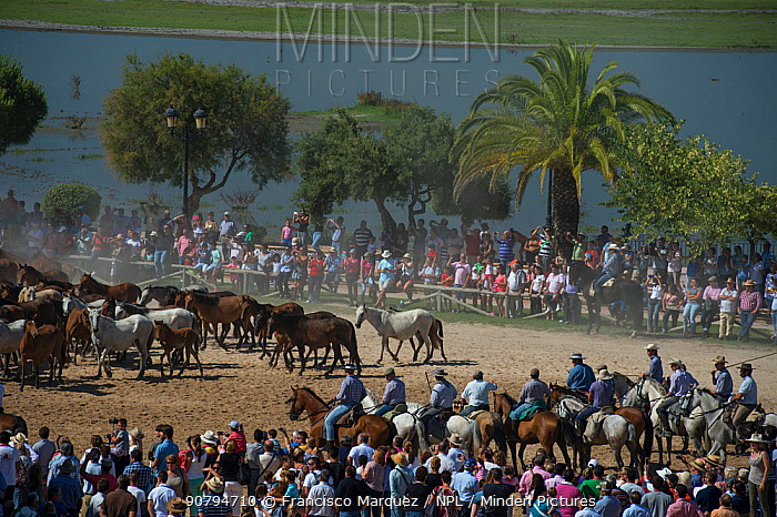 Herd of horses driven to the hermitage of El Rocio to be blessed.  Coto Donana, Spain. June 2014.