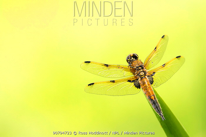 Four-spotted chaser dragonfly (Libellula quadrimaculata) resting on reed with pond behind, Cornwall, UK. May.