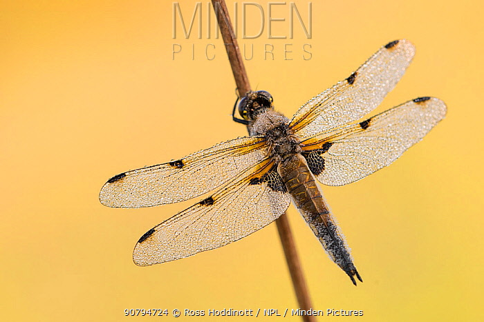 Four-spotted chaser dragonfly (Libellula quadrimaculata) resting on reed, early morning light, Devon, UK. May 2016.