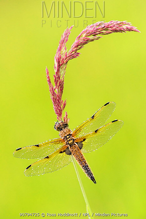Four-spotted chaser dragonfly (Libellula quadrimaculata) resting on grass stem, early morning light, Devon, UK. June