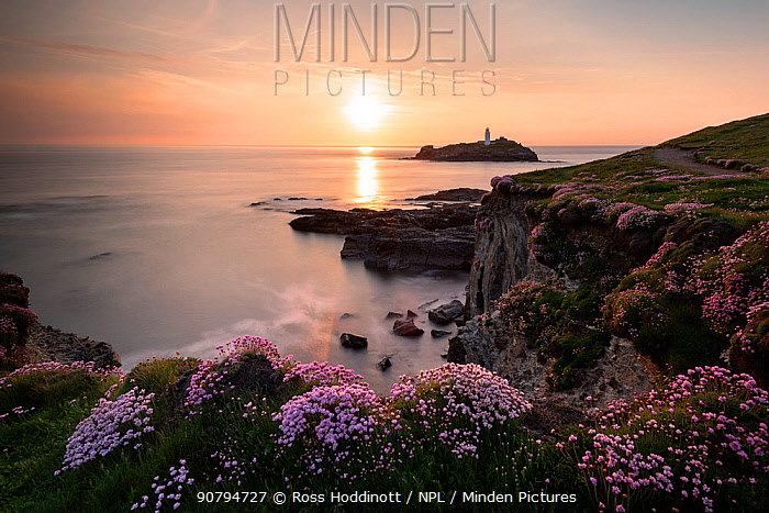 View of Godrevy island / lighthouse with flowering  Sea thrift (Armeria maritima) in the foreground, near Hayle, Cornwall, UK. May.
