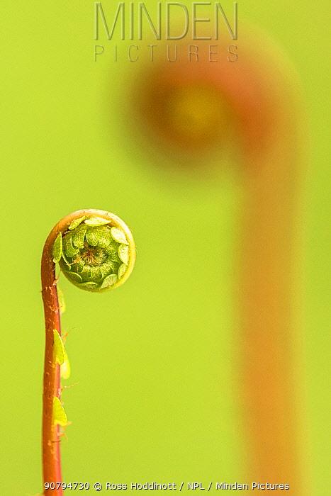 Hard fern (Blechnum spicant) frond uncurling, Cornwall, UK. April.