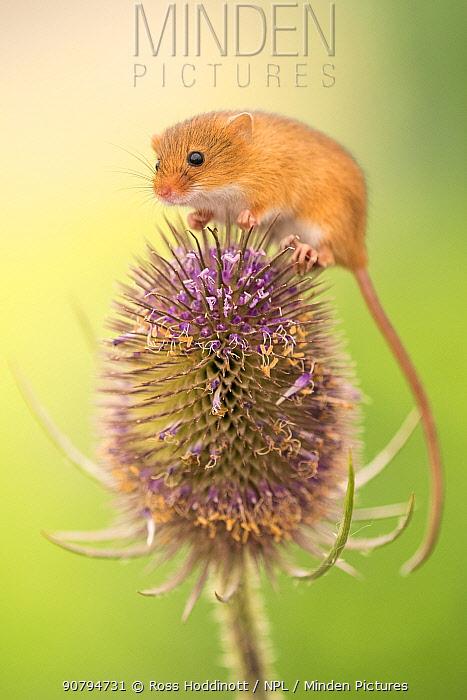 Harvest mouse (Micromys minutus) on teasel seed head, Devon, UK. Captive.