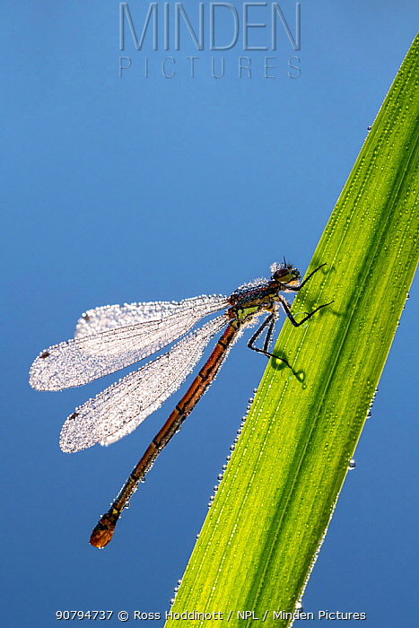 Large red damselfly (Pyrrhosoma nymphula) covered in dew resting on a backlit reed by the pond's edge, Cornwall, UK. May.