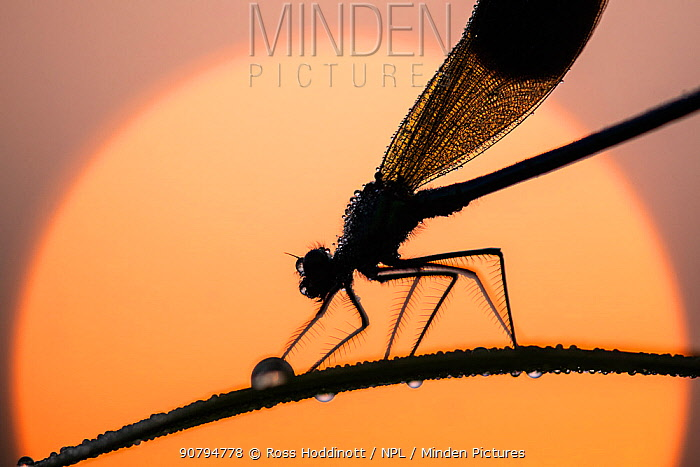 Banded demoiselle (Calopteryx splendens) male silhouetted against the rising sun, Lower Tamar Lakes, Cornwall, UK. May.
