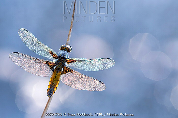 Broad bodied chaser dragonfly (Libellula depressa) covered in dew backlit against water, Broxwater, Cornwall, UK. May.