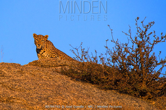 Leopard (Panthera pardus fusca),watching from rock, Rajasthan, India