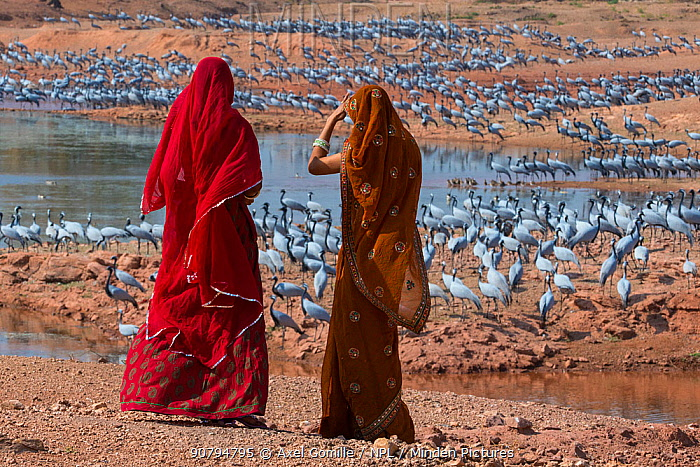 Demoiselle cranes (Grus / Anthropoides virgo) feeding at wintering site in the Thar desert, with women dressed in sarees looking at them, Rajasthan, India