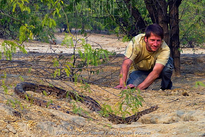 Photographer Axel Gomille, watching Indian python (Python molurus), Rajasthan, India