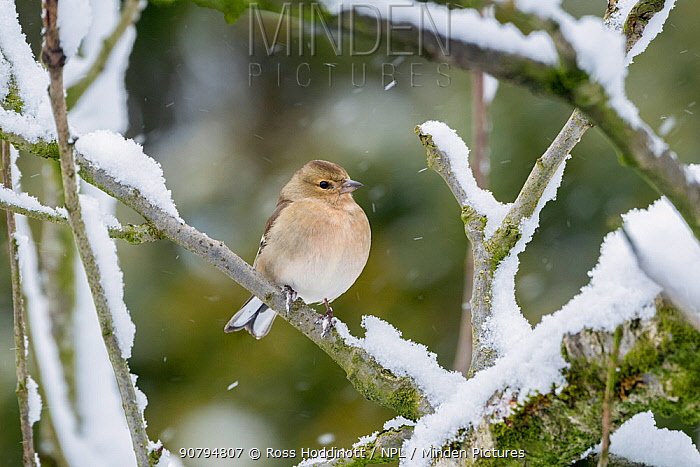 Chaffinch (Fringilla coelebs) female perched on snow coverd branches, Broxwater, Cornwall, UK. March.