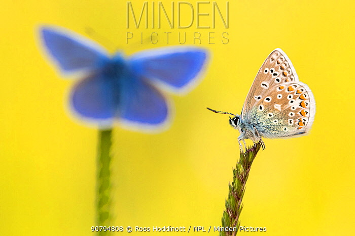Common blue butterflies (Polyommatus icarus) resting on grasses, Vealand Farm, Devon, UK. June